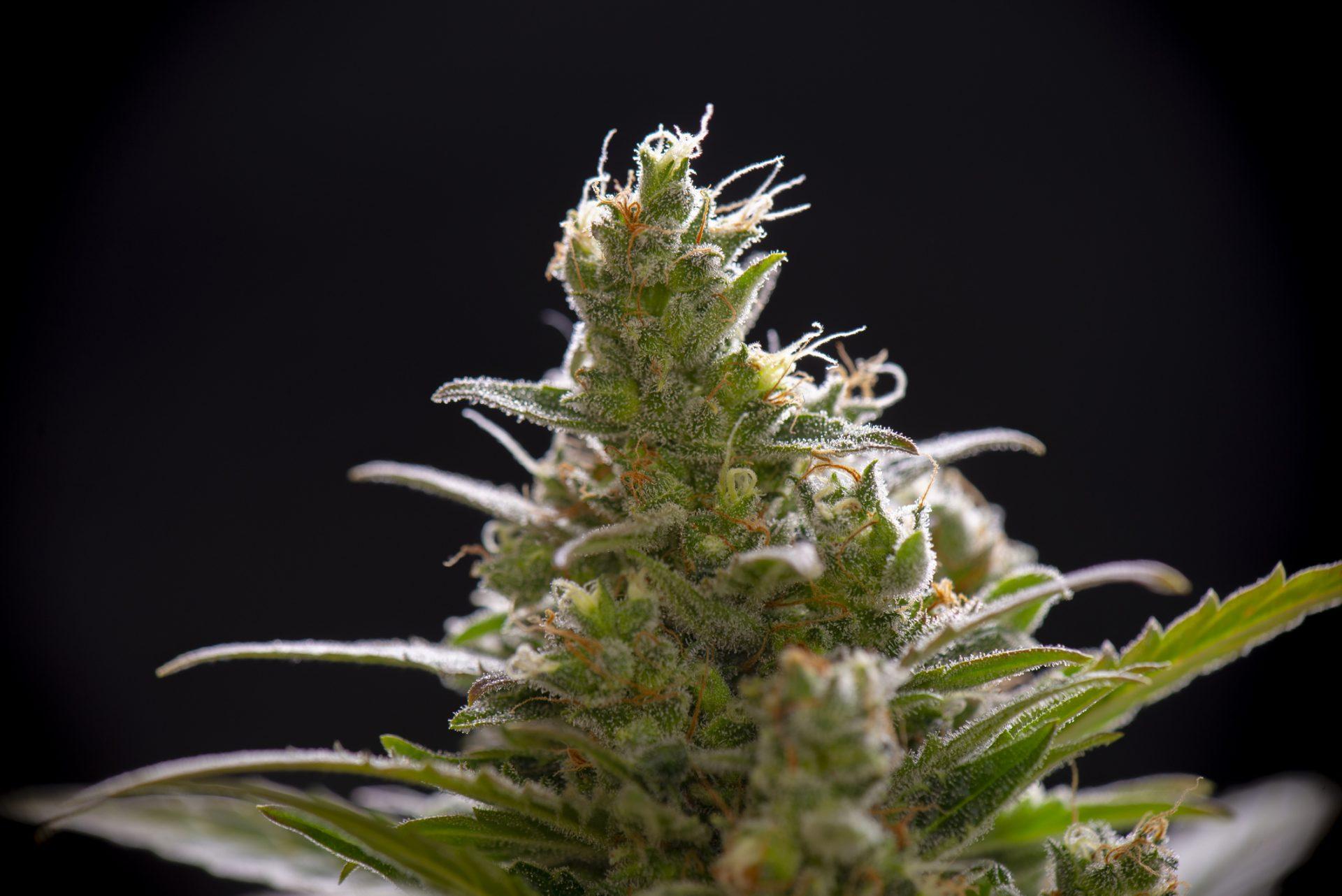 Cannabis Bud showing resins - terpenes