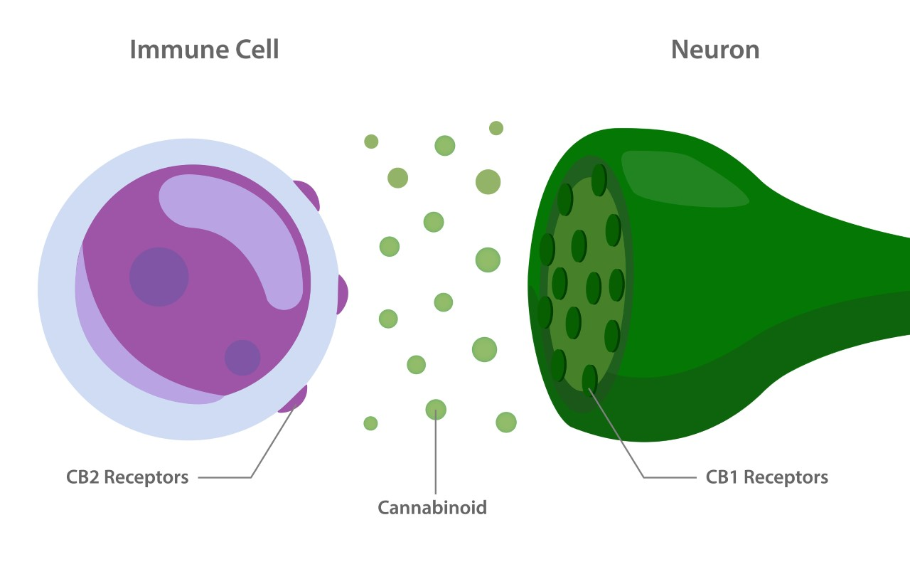 CB1 and CB2 Receptor diagram - relationship between how cannabanoids interact with the Immune Cell and the Neuron.